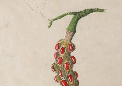 Magnolia campbellii – seed pod by Emma Tennant