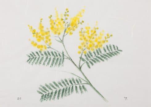 Acacia dealbata by Emma Tennant